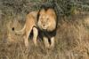 Lion-in-grass-1