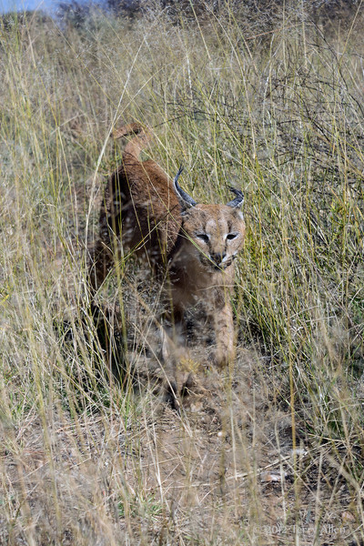 Caracal-moving-through-tall-grass