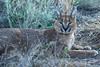Caracal-in-tall-grass