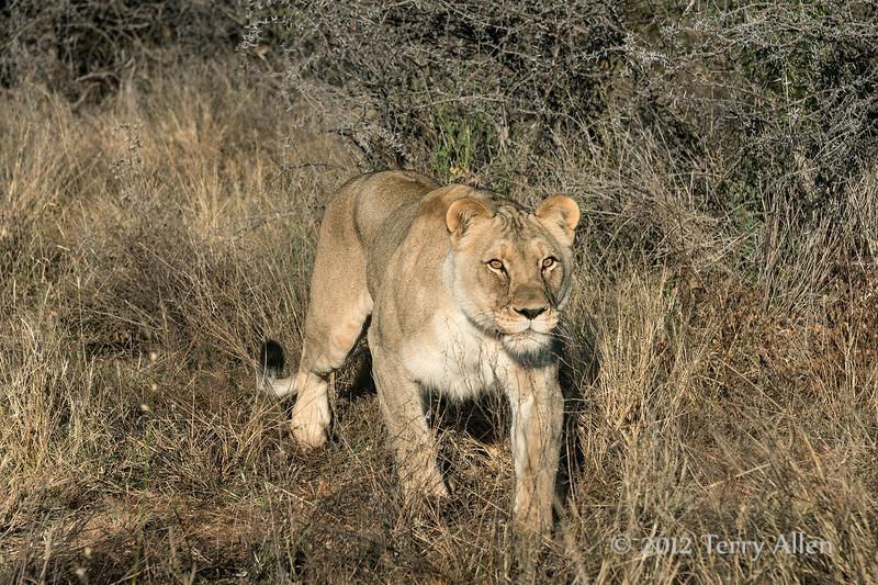 Lioness-4