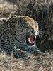 Snarling-leopard-3