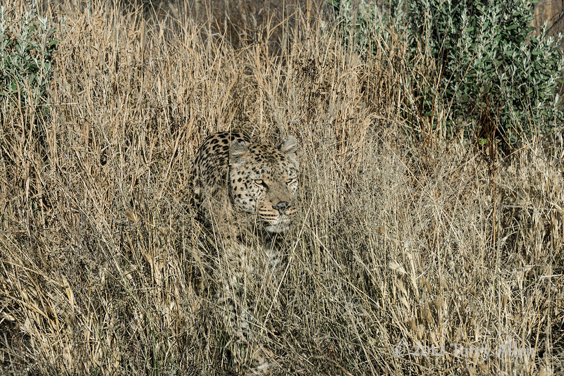 Camouflaged-leopard