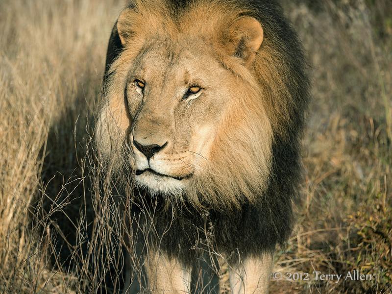 Lion-portrait-6