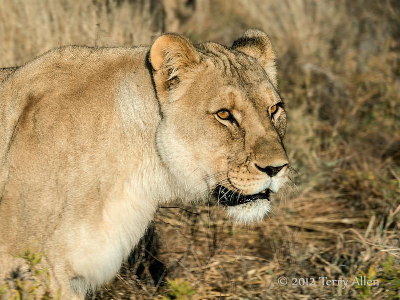 Lioness-portrait-1