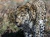Leopard-in-dappled-light