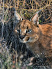Caracal-portrait-1