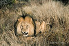 Lion-lying-in-grass-2