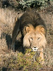 Lion-approaching-camera