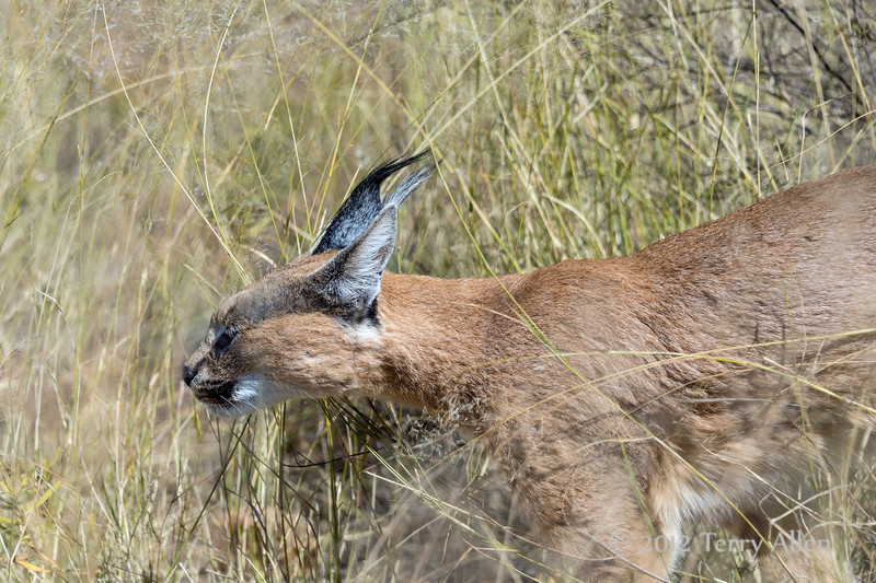 Caracal-moving-through-tall-grass-2