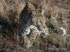 Leopard-portrait-3