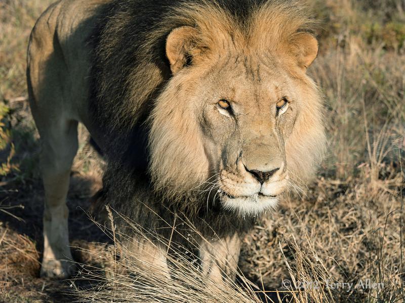 Lion-portrait-8