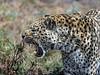 Snarling-leopard-2