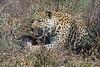 Snarling-leopard