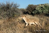 Alert-lioness