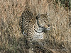 Leopard-in-tall-grass-1