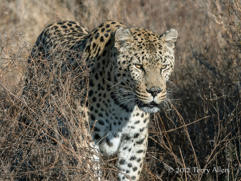 Leopard-in-tall-grass-5