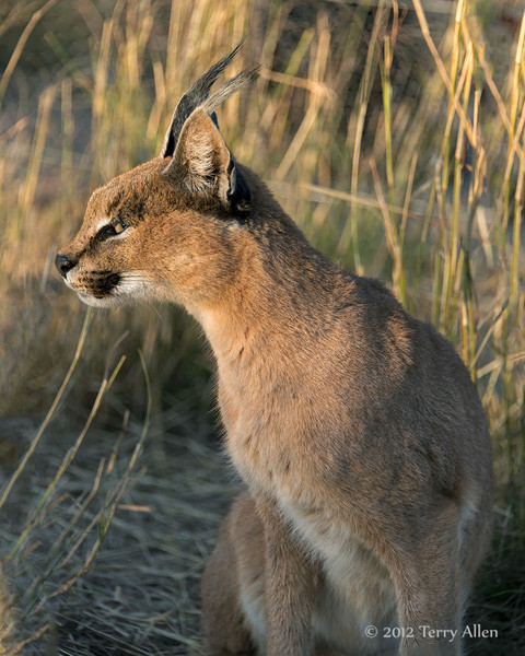 Caracal-at-sunset-4