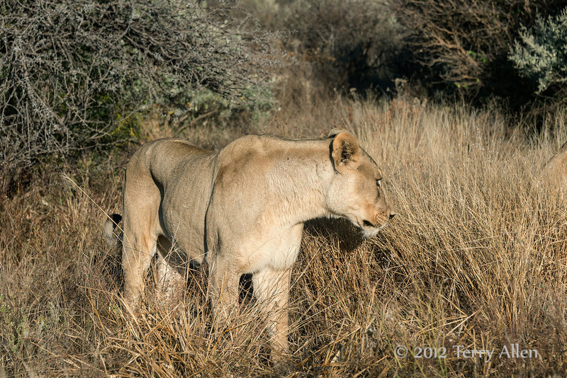 Lioness-3