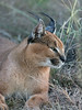 Caracal-portrait-4