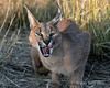 Caracal-licking-its-chops-1