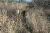Leopard-in-tall-grass-4
