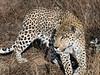 Leopard-portrait-1