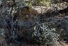 Kalahari-lion-in-bushes