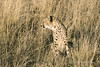 Cheetah-in-tall-grass-3