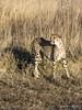 Cheetah-pose-5