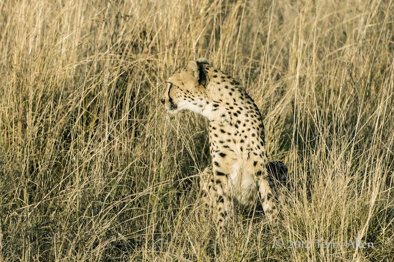 Cheetah-in-tall-grass-2