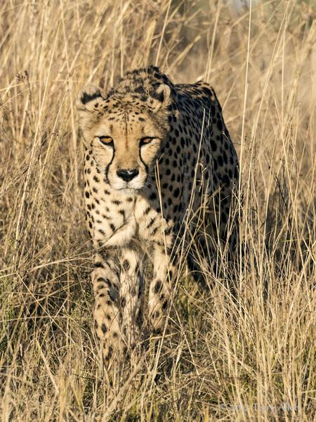 Cheetah-in-tall-grass-4