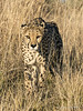 Cheetah-in-tall-grass-4