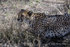 Crouching-cheetah-2