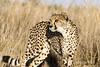 Cheetah-pose-4