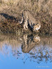 Cheetah-with-reflections-9