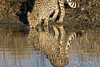 Cheetah-with-reflections-8