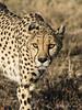Cheetah-close-up-4