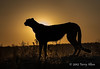 Cheetah-silhouetted-at-sunset-5
