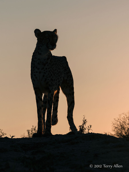 Cheetah-silhouetted-at-sunset-2