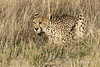 Cheetah-crouching-in-tall-grass