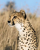 Cheetah-close-up-5