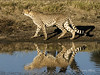 Cheetah-walking-by-water-hole-&-reflection