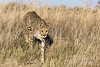 Cheetah-in-tall-grass-6