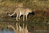 Alert-cheetah-at-water-hole-2