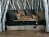 Cheetah-on-sofa-3