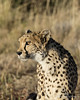 Cheetah-close-up-3