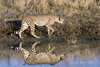 Cheetah-with-reflections-4