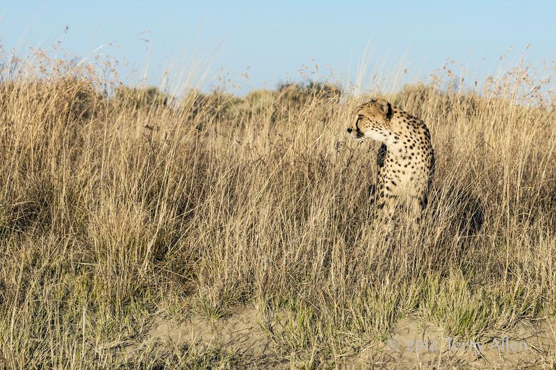 Cheetah-in-tall-grass-5