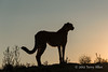 Cheetah-silhouetted-at-sunset-1