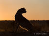 Cheetah-silhouetted-at-sunset-6